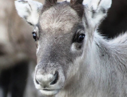 An exotic tree species destroys reindeer pastures and Sami reindeer herding