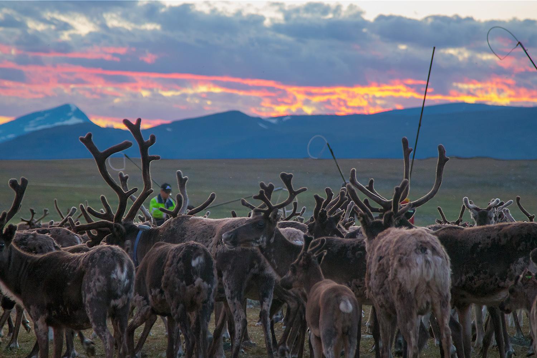 Bild tagen i Laponia under kalvmärkning. Fotograf: Jonas Vannar